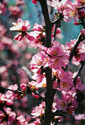 Flowering Plum (Prunus triloba) at St. Mary's Nursery & Garden Centre