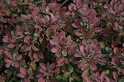 Royal Burgundy Japanese Barberry (Berberis thunbergii 'Gentry') at St. Mary's Nursery & Garden Centre