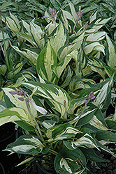 Revolution Hosta (Hosta 'Revolution') at St. Mary's Nursery & Garden Centre