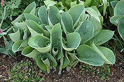 Big Daddy Hosta (Hosta 'Big Daddy') at St. Mary's Nursery & Garden Centre
