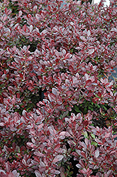 Cherry Bomb Japanese Barberry (Berberis thunbergii 'Monomb') at St. Mary's Nursery & Garden Centre