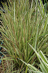 Northern Lights Tufted Hair Grass (Deschampsia cespitosa 'Northern Lights') at St. Mary's Nursery & Garden Centre