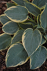 First Frost Hosta (Hosta 'First Frost') at St. Mary's Nursery & Garden Centre