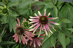 Green Envy Coneflower (Echinacea purpurea 'Green Envy') at St. Mary's Nursery & Garden Centre