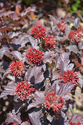 Ginger Wine® Ninebark (Physocarpus opulifolius 'SMNPOBLR') at St. Mary's Nursery & Garden Centre