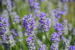 Munstead Lavender (Lavandula angustifolia 'Munstead') at St. Mary's Nursery & Garden Centre