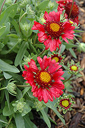 Burgundy Blanket Flower (Gaillardia x grandiflora 'Burgundy') at St. Mary's Nursery & Garden Centre