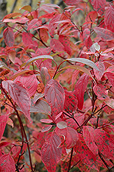 Red Osier Dogwood (Cornus sericea) at St. Mary's Nursery & Garden Centre