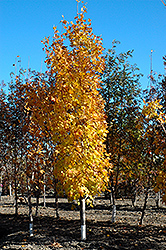 Lord Selkirk Sugar Maple (Acer saccharum 'Jefselk') at St. Mary's Nursery & Garden Centre