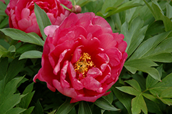 Pink Double Dandy Peony (Paeonia 'Pink Double Dandy') at St. Mary's Nursery & Garden Centre
