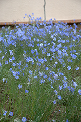 Blue Sapphire Perennial Flax (Linum perenne 'Blue Sapphire') at St. Mary's Nursery & Garden Centre