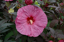 Summerific® Berry Awesome Hibiscus (Hibiscus 'Berry Awesome') at St. Mary's Nursery & Garden Centre