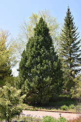 Swiss Stone Pine (Pinus cembra) at St. Mary's Nursery & Garden Centre