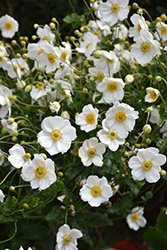 Honorine Jobert Anemone (Anemone x hybrida 'Honorine Jobert') at St. Mary's Nursery & Garden Centre