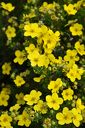 Dakota Sunspot Potentilla (Potentilla fruticosa 'Fargo') at St. Mary's Nursery & Garden Centre