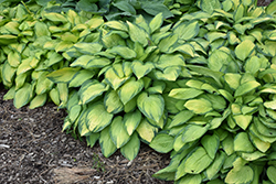 Paul's Glory Hosta (Hosta 'Paul's Glory') at St. Mary's Nursery & Garden Centre
