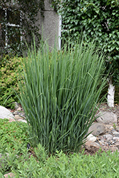 Northwind Switch Grass (Panicum virgatum 'Northwind') at St. Mary's Nursery & Garden Centre