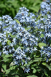 Storm Cloud Bluestar (Amsonia tabernaemontana 'Storm Cloud') at St. Mary's Nursery & Garden Centre